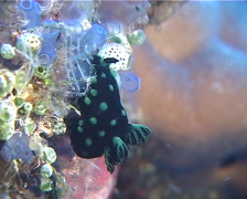 Green spot black slug, Nembrotha cristata, UP11901 Stock Footage