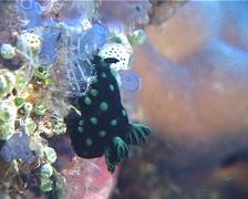 Green spot black slug, Nembrotha cristata, UP11901 Stock Footage