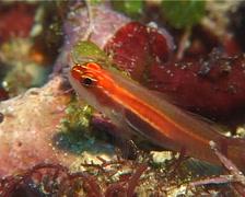Neon dwarfgoby, Eviota atriventris, UP11912 Stock Footage