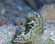 Green and black gill guard slug, Notodoris serenae, UP11913 Stock Footage