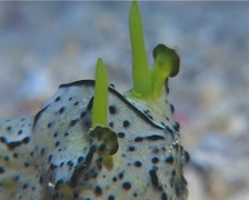 Green and black gill guard slug, Notodoris serenae, UP11914 Stock Footage