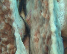 Hairy squat lobster feeding, Lauriea siagiani, UP11925 Stock Footage