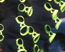 Black-and-Yellow tunicates feeding, Clavelina zobustra, UP11926 Stock Footage