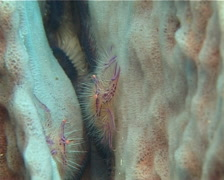 Hairy squat lobster feeding, Lauriea siagiani, UP11923 Stock Footage