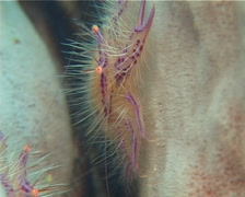 Hairy squat lobster feeding, Lauriea siagiani, UP11924 Stock Footage