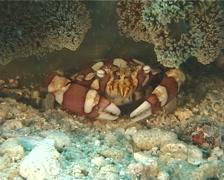 Anemone crab, Lissocarcinus laevis, UP11968 - stock footage
