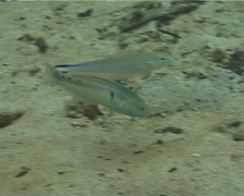Goldstripe wrasse feeding, Halichoeres hartzfeldii, UP11972 Stock Footage