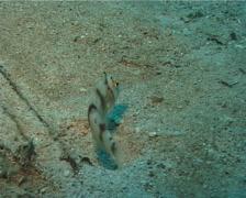 Juvenile Whitepatch razorfish swimming, Iniistius aneitensis, UP11981 Stock Footage