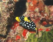 Juvenile Clown triggerfish hiding, Balistoides conspicillum, UP11985 Stock Footage
