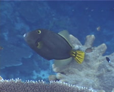 Yelloweye filefish swimming, Cantherhines dumerili, UP11996 - stock footage