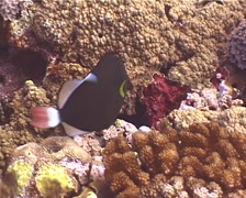 Pinktail triggerfish hovering, Melichthys vidua, UP12000 Stock Footage