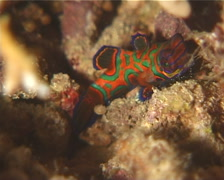 Mandarinfish at night, Synchiropus splendidus, UP12020 Stock Footage