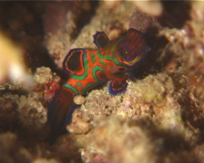 Mandarinfish walking at night, Synchiropus splendidus, UP12021 Stock Footage