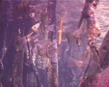 Orbicular cardinalfish hovering, Sphaeramia orbicularis, UP12039 Stock Footage