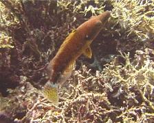 Celebes wrasse swimming, Oxycheilinus celebicus, UP12057 Stock Footage