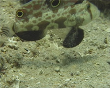 Twinspot goby feeding on sand and coral rubble, Signigobius biocellatus, UP12053 Stock Footage