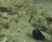 Twinspot goby feeding on sand and coral rubble, Signigobius biocellatus, UP12054 Stock Footage