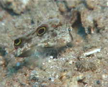 Twinspot goby feeding, Signigobius biocellatus, UP12065 Stock Footage