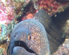 Giant moray gaping, Gymnothorax javanicus, UP12071 Stock Footage