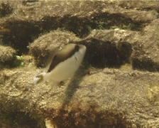 Juvenile Flagtail triggerfish hovering, Sufflamen chrysopterum, UP12089 Stock Footage