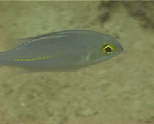 Whitestreak monocle bream swimming, Scolopsis ciliata, UP12108 Stock Footage