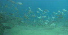 Luderick swimming and schooling on sand channel rock wall, Girella tricuspidata, Stock Footage