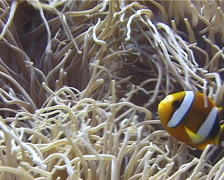 Clark's anemonefish swimming, Amphiprion clarkii, UP12140 - stock footage