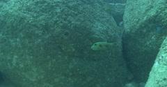 Juvenile Star pufferfish swimming on river mouth rock wall, Arothron stellatus, Stock Footage