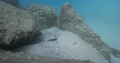 Sitting on sand full of fish gear, underwater, Kuhl's Ray, 4K UltraHD, UP34350 Stock Footage