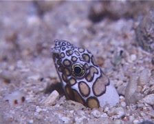 Napoleon snake eel, Ophichthus bonaparti, UP12158 Stock Footage
