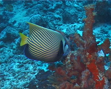 Emperor angelfish feeding, Pomacanthus imperator, UP12188 Stock Footage