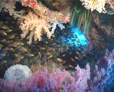 Golden sweepers schooling and schooling in cavern, Parapriacanthus ransonneti, Stock Footage