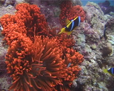 Orangefin anemonefish swimming, Amphiprion chrysopterus, UP12201 Stock Footage