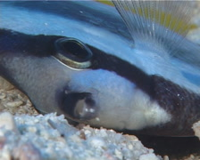Klein's butterflyfish dying, Chaetodon kleinii, UP12220 Stock Footage