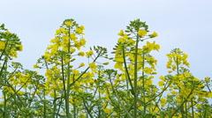 Dolly slider shot of gentle blooming rapeseed crop flowers Stock Footage