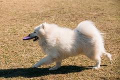 Funny White Samoyed Dog play run Outdoor Stock Photos