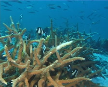 Humbug swimming and schooling on shallow coral reef, Dascyllus aruanus, UP12225 Stock Footage