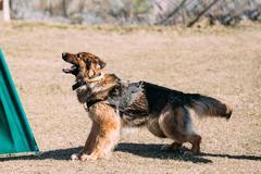 German Shepherd Dog training. Biting dog - stock photo