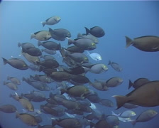 Yellow-mask surgeonfish hovering and schooling in bluewater, Acanthurus mata, Stock Footage