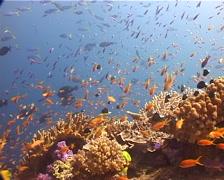 Ocean scenery beautiful reef, anthias, damsels, on shallow coral reef, UP12239 - stock footage