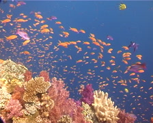 Ocean scenery anthias, soft corals, current, on coral reef, UP12247 - stock footage