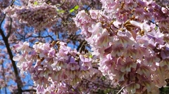 Princess Tree Flowers, Emperor Tree Flowers Paulownia Tomentosa Stock Footage