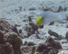 Blueband goby hovering on sand and coral rubble, Valenciennea strigata, UP12270 Stock Footage