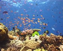 Ocean scenery beautiful reef, hard corals, bird wrasse, anthias, on shallow Stock Footage