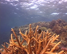 Ocean scenery staghorn, hard coral garden, damsel, on shallow coral reef, Stock Footage
