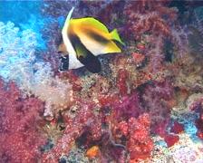 Masked bannerfish swimming, Heniochus monoceros, UP12298 Stock Footage