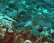 Hawksbill turtle feeding, Eretmochelys imbricata, UP12306 Stock Footage
