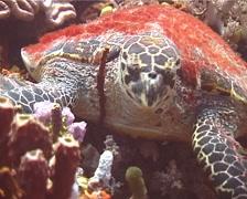 Hawksbill turtle feeding, Eretmochelys imbricata, UP12310 Stock Footage