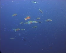 Steephead parrotfish swimming and schooling, Chlorurus microrhinos, UP12331 Stock Footage