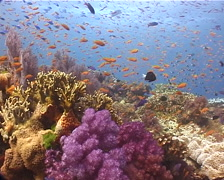 Ocean scenery beautiful reef, hard and soft corals, anthias, damsels, on shallow Stock Footage